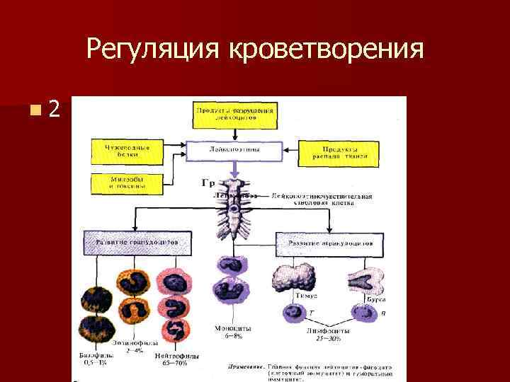 Регуляция кроветворения n 2