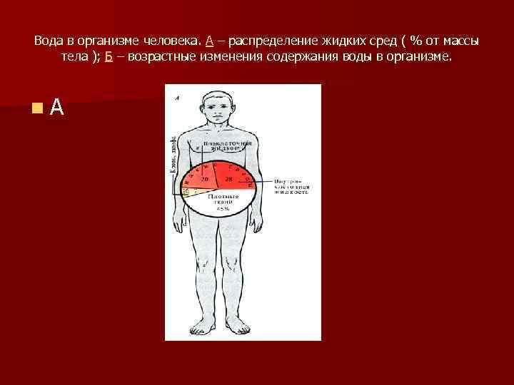 Вода в организме человека. А – распределение жидких сред ( % от массы тела