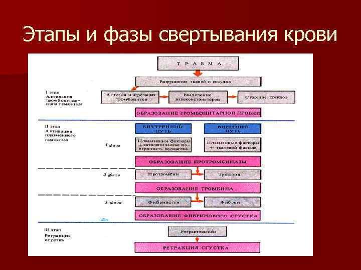 Этапы и фазы свертывания крови