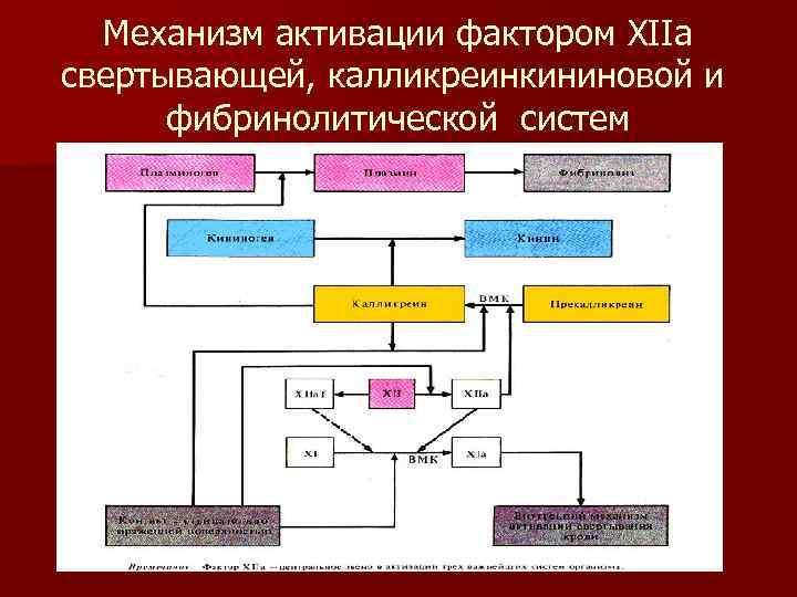 Механизм активации фактором XIIа свертывающей, калликреинкининовой и   фибринолитической систем