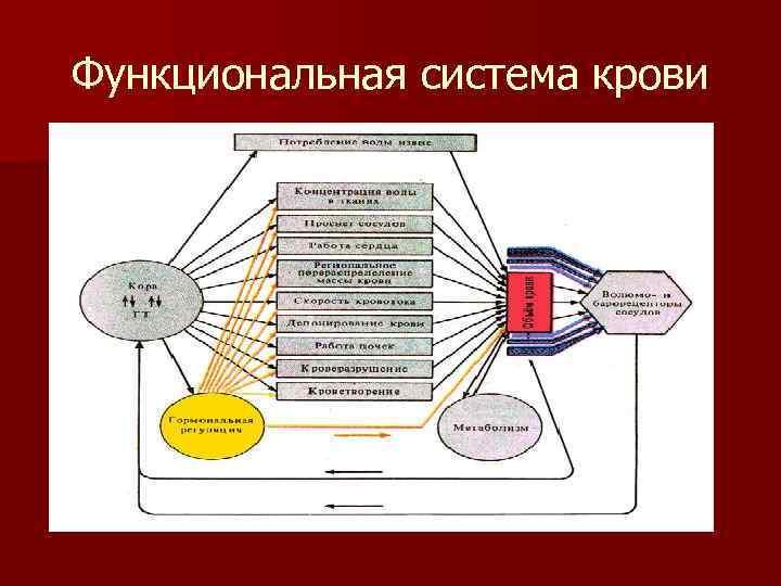 Функциональная система крови