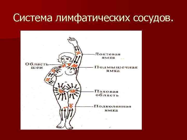 Система лимфатических сосудов.