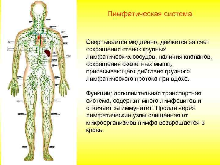 Вопрос системы на лимфатической шпаргалка анатомия