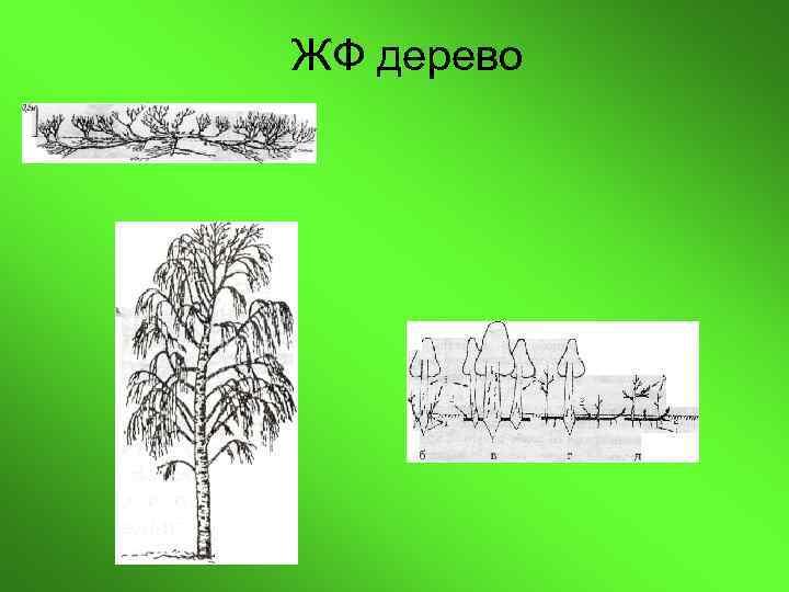 ЖФ дерево