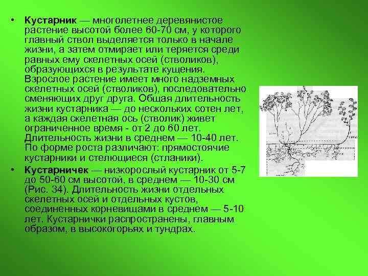 • Кустарник — многолетнее деревянистое  растение высотой более 60 -70 см, у
