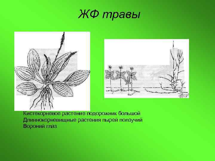 ЖФ травы Кистекорневое растение подорожник большой Длиннокорневищные растения пырей ползучий Вороний