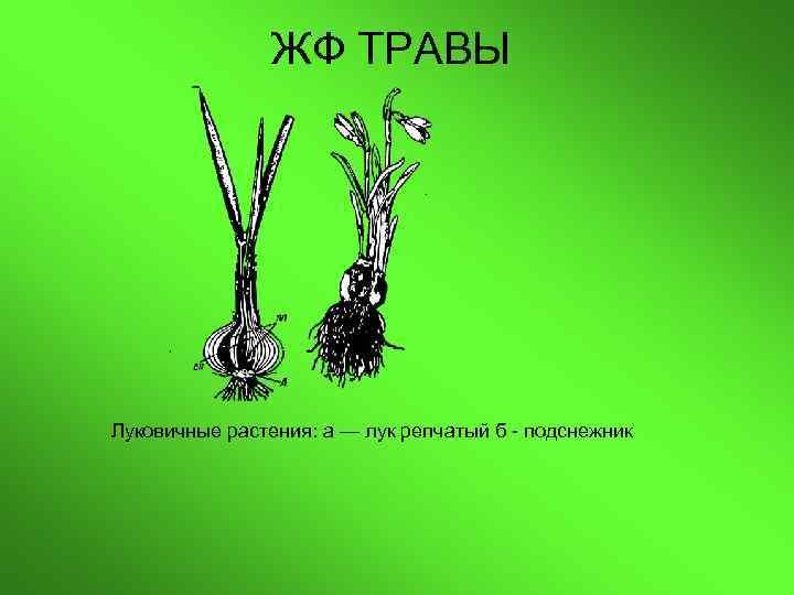 ЖФ ТРАВЫ Луковичные растения: а — лук репчатый б -