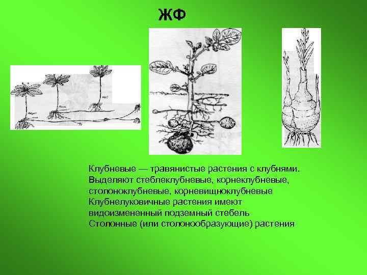ЖФ Клубневые — травянистые растения с клубнями. Выделяют стеблеклубневые, корнеклубневые, столоноклубневые,