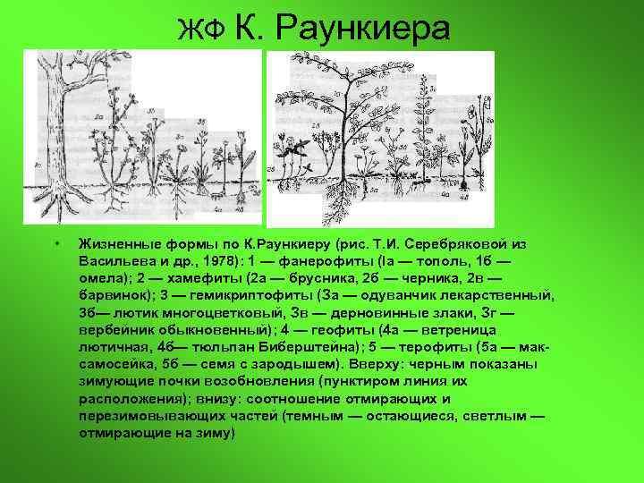 ЖФ К.  Раункиера •  •  Жизненные формы