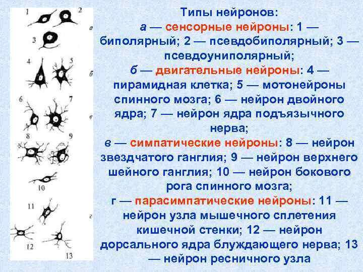 Типы нейронов:   а — сенсорные нейроны: 1 — биполярный;