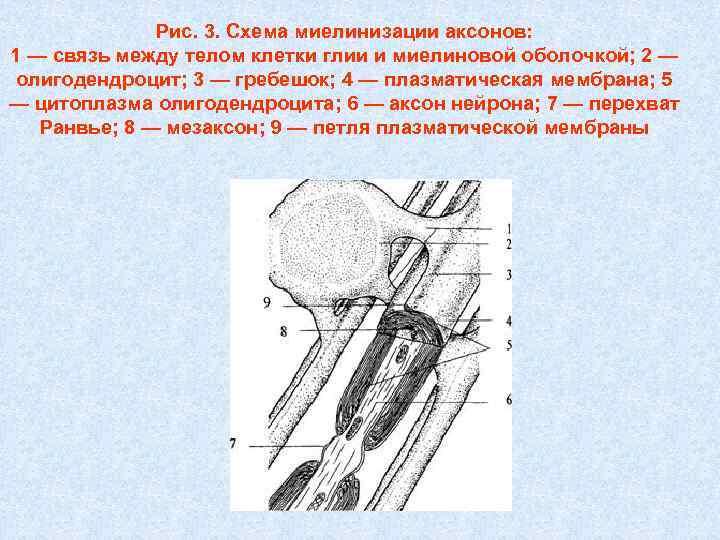 Рис. 3. Схема миелинизации аксонов: 1 — связь между телом клетки