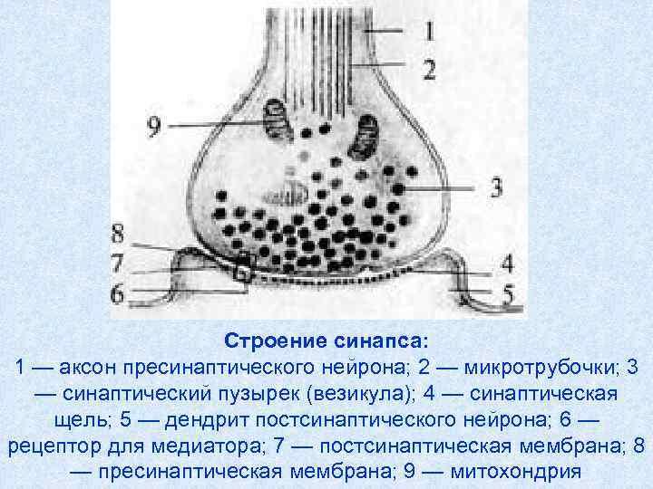 Строение синапса:  1 — аксон пресинаптического нейрона; 2 —