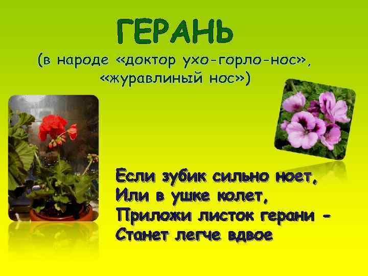 ГЕРАНЬ (в народе «доктор ухо-горло-нос» ,  «журавлиный нос» )