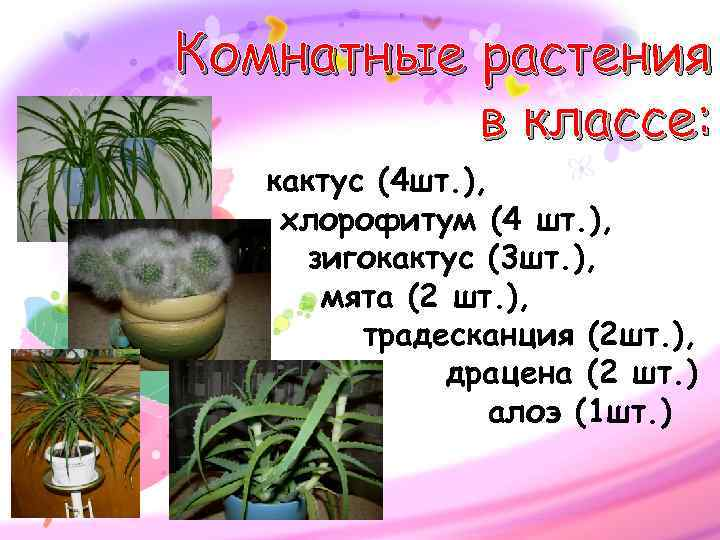 Комнатные растения  в классе: кактус (4 шт. ), хлорофитум (4 шт. ),