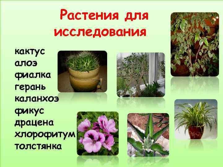 Растения для  исследования кактус алоэ фиалка герань каланхоэ фикус драцена хлорофитум