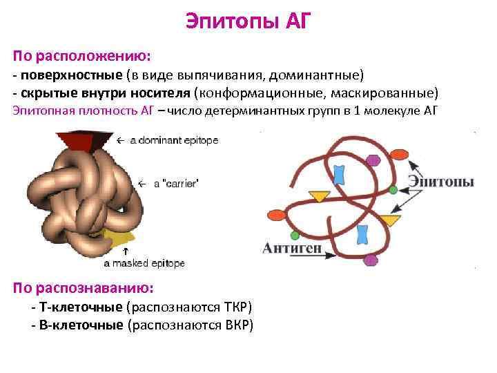 Эпитопы АГ По расположению: - поверхностные (в виде