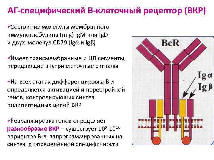 АГ-специфический В-клеточный рецептор (ВКР) üСостоит из молекулы мембранного иммуноглобулина (m. Ig) Ig. М или