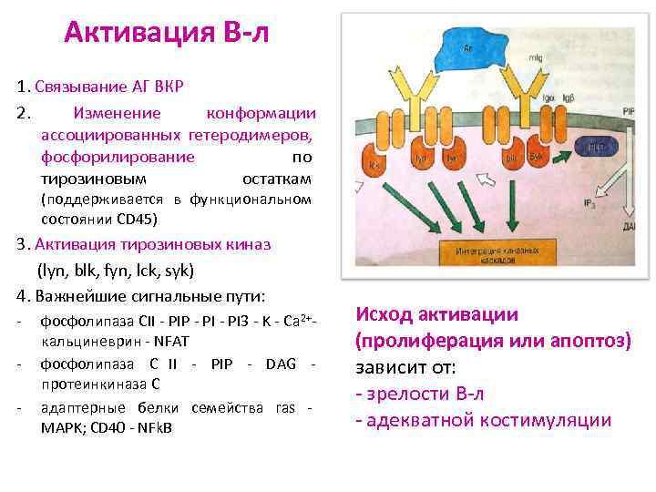 Активация В-л 1. Связывание АГ BКР 2.  Изменение конформации ассоциированных гетеродимеров,
