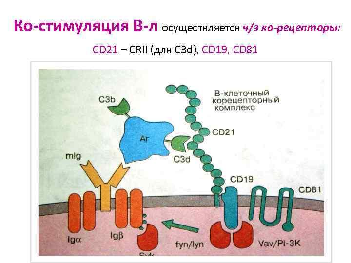 Ко-стимуляция В-л осуществляется ч/з ко-рецепторы:   CD 21 – CRII (для С 3