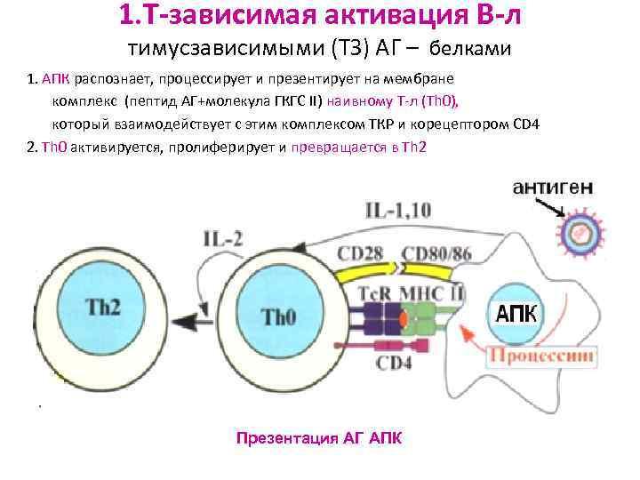 1. Т-зависимая активация В-л   тимусзависимыми (ТЗ) АГ – белками 1.