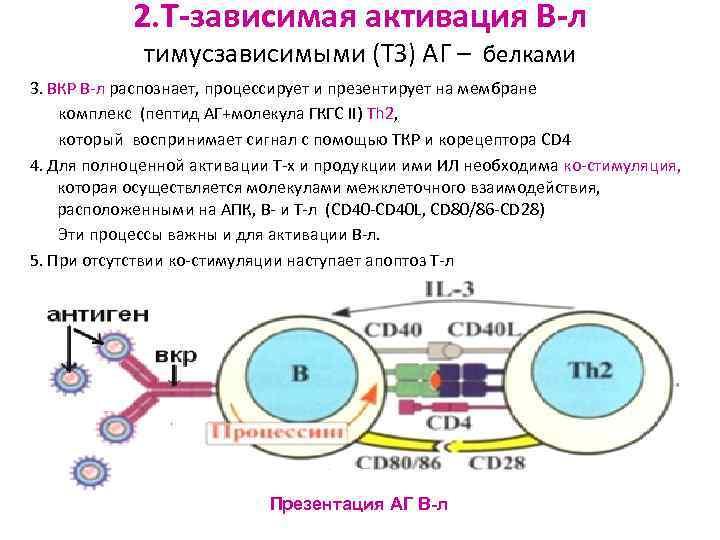 2. Т-зависимая активация В-л   тимусзависимыми (ТЗ) АГ – белками 3.