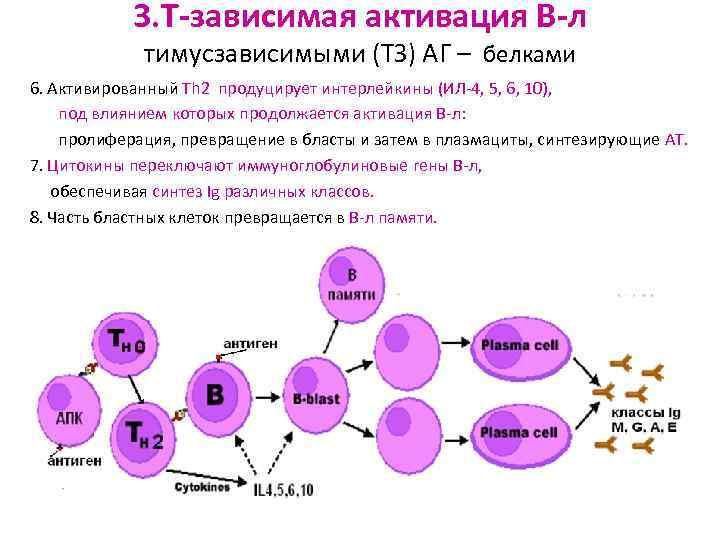 3. Т-зависимая активация В-л   тимусзависимыми (ТЗ) АГ – белками 6.