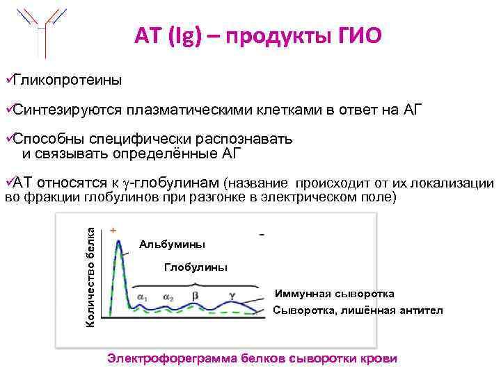 АТ (Ig) – продукты ГИО üГликопротеины üСинтезируются