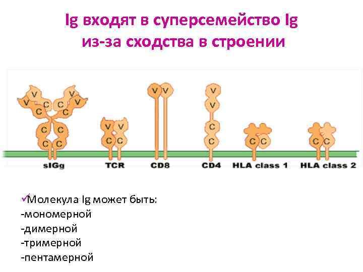 Ig входят в суперсемейство Ig  из-за сходства в строении ü Молекула