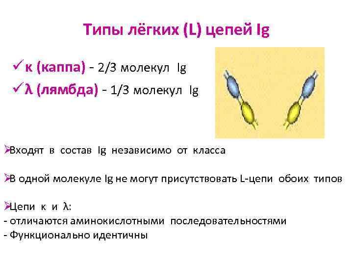 Типы лёгких (L) цепей Ig  ü κ (каппа) - 2/3