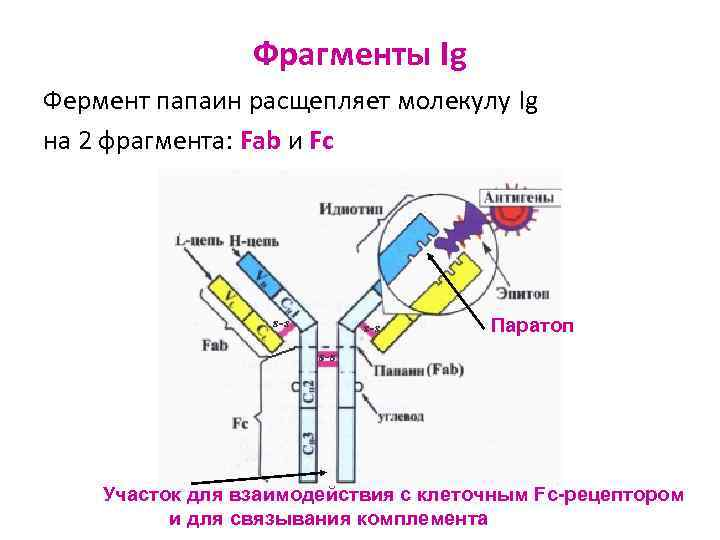 Фрагменты Ig Фермент папаин расщепляет молекулу Ig на 2 фрагмента: Fab