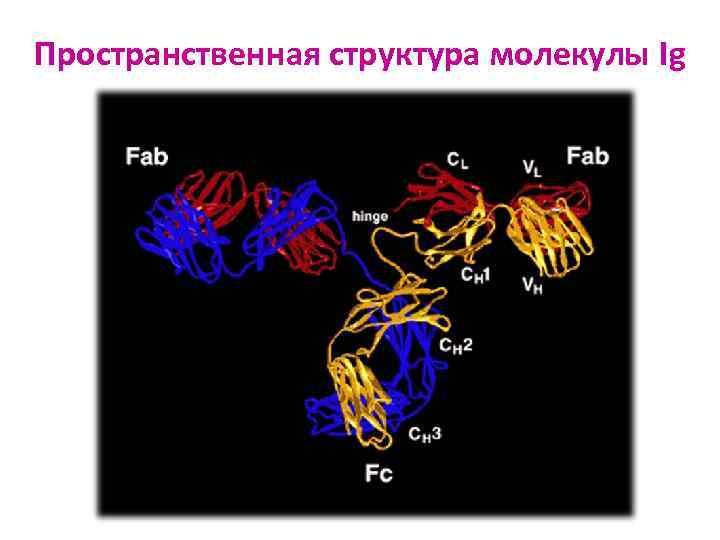 Пространственная структура молекулы Ig