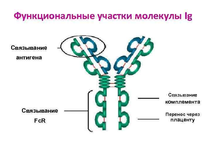Функциональные участки молекулы Ig Связывание антигена       Связывание