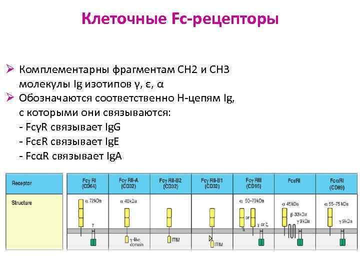 Клеточные Fc-рецепторы Ø Комплементарны фрагментам СН 2 и СН 3
