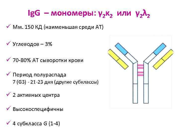 Ig. G – мономеры: γ 2κ 2 или γ 2λ 2 ü