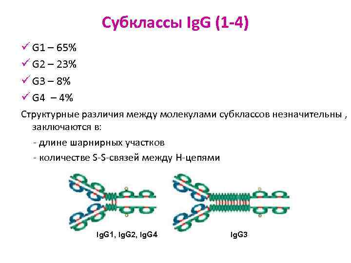 Субклассы Ig. G (1 -4) ü G 1 – 65%