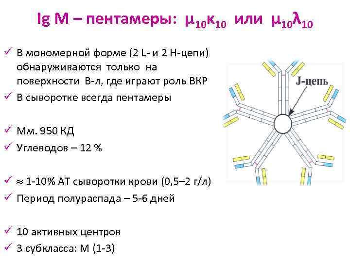 Ig M – пентамеры: μ 10κ 10 или μ 10λ 10 ü В