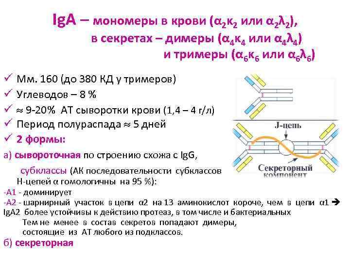 Ig. A – мономеры в крови (α 2κ 2 или α 2λ
