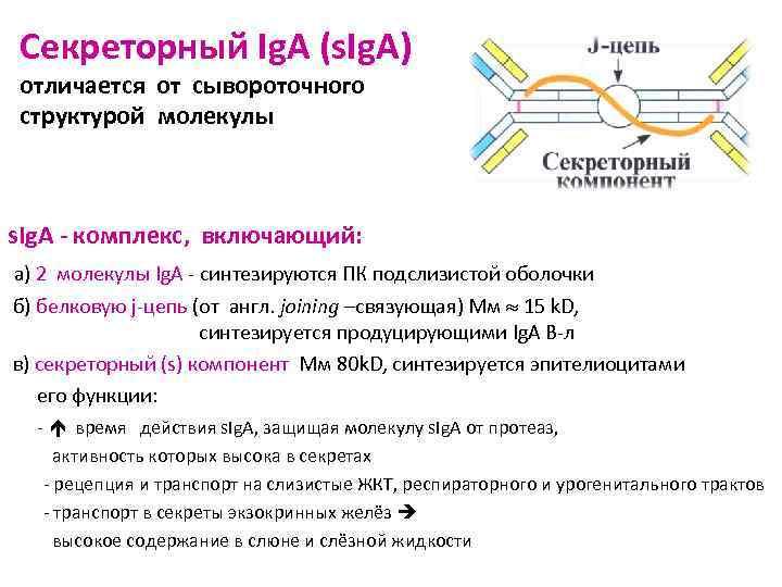Секреторный Ig. A (s. Ig. A) отличается от сывороточного структурой молекулы  s. Ig.