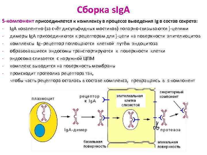 Сборка s. Ig. A S-компонент присоединяется к комплексу
