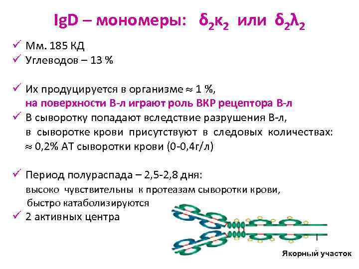 Ig. D – мономеры: δ 2κ 2 или δ 2λ 2 ü