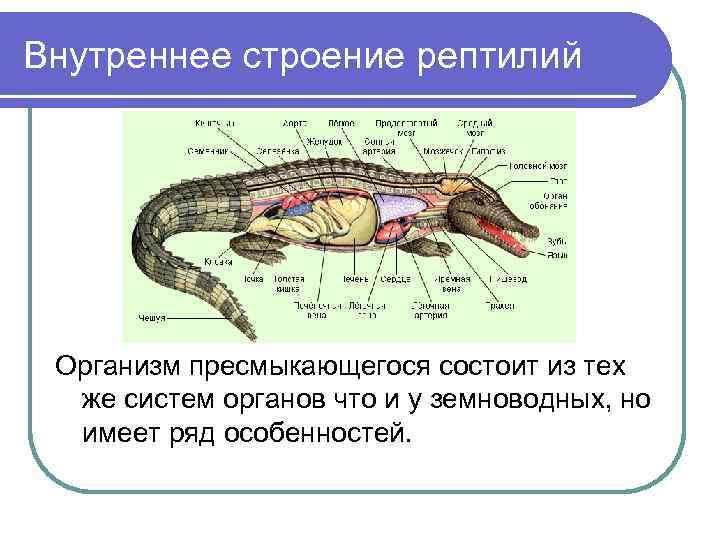 Внутреннее строение рептилий Организм пресмыкающегося состоит из тех  же систем органов что и