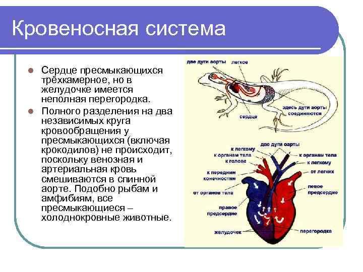 Кровеносная система l Сердце пресмыкающихся  трёхкамерное, но в  желудочке имеется  неполная