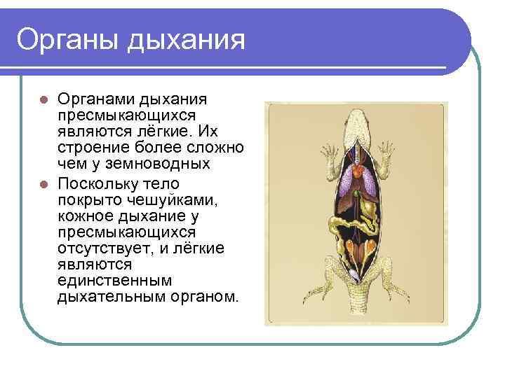 Органы дыхания l Органами дыхания  пресмыкающихся  являются лёгкие. Их  строение более