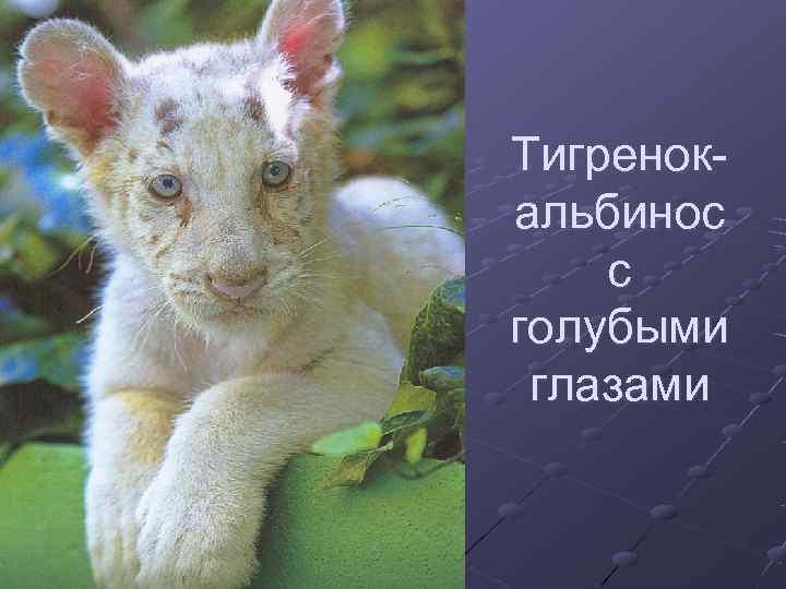 Тигренок- альбинос с голубыми глазами