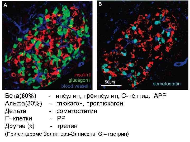 Бета(60%)  -  инсулин, проинсулин, С-пептид, IAPP Альфа(30%)  -  глюкагон, проглюкагон