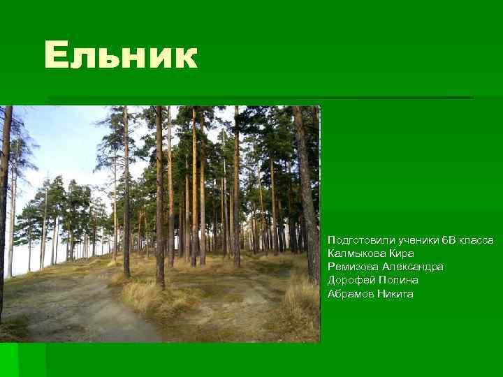 Ельник   Подготовили ученики 6 В класса   Калмыкова Кира