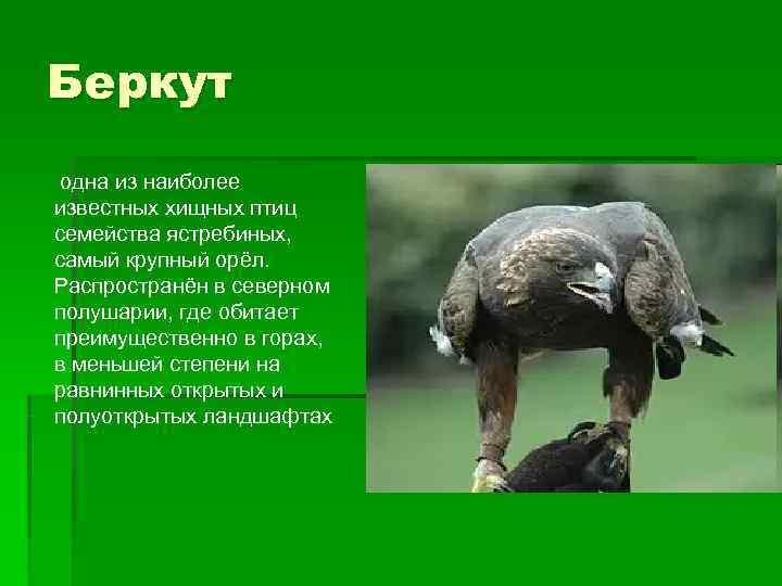 Беркут одна из наиболее известных хищных птиц семейства ястребиных, самый крупный орёл. Распространён в