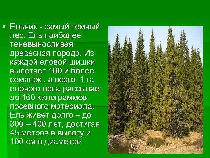 § Ельник - самый темный  лес. Ель наиболее  теневыносливая  древесная порода.
