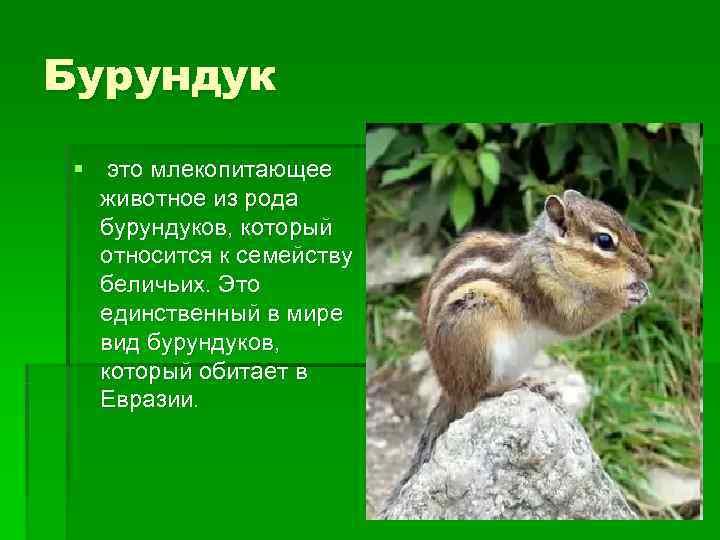 Бурундук § это млекопитающее  животное из рода  бурундуков, который  относится к
