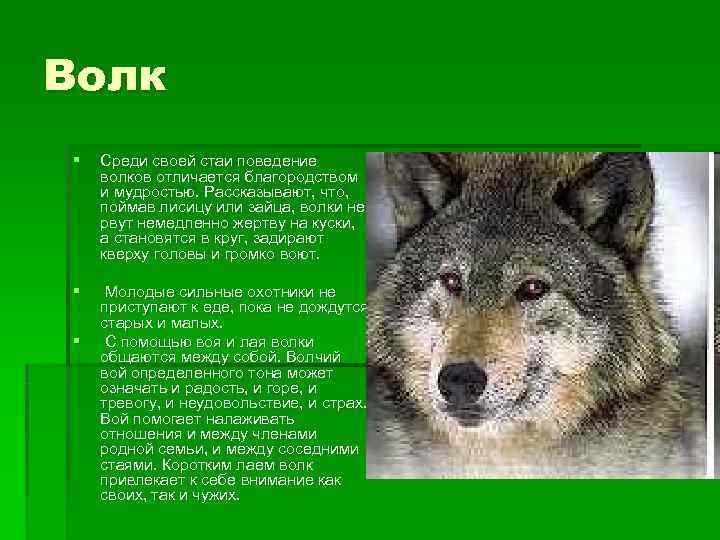 Волк §  Среди своей стаи поведение волков отличается благородством и мудростью. Рассказывают, что,
